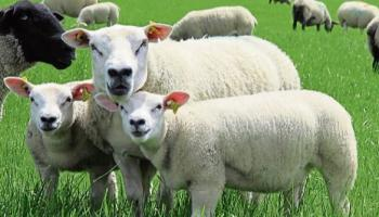 Gardaí are currently investigating the disappearance of dozens of sheep