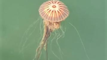 Know your jellyfish - and what to do (or not do!) if you get stung on a the beach