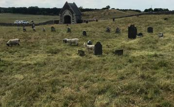 Department of Defence put sheep into military cemetery in Curragh before grass was cuty