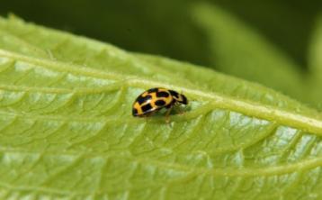 Kildare's Wildlife Watch: The gardener's helpful ladybird friend