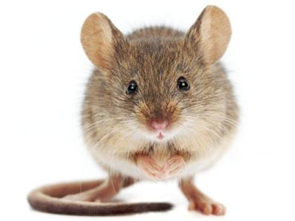 Food inspectors find live mouse in kitchen of Dublin